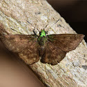 Gorgopas trochilus