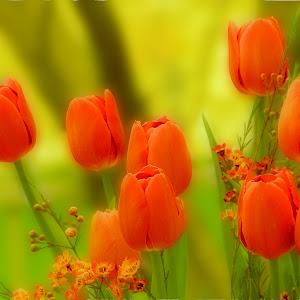 Orange Tulips 4 nik.jpg