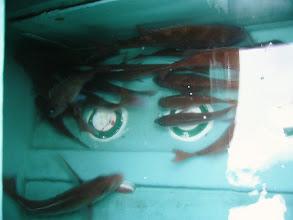 Photo: ここにも! 大漁でした! 魚市に出荷しました! ガッカリするぐらい、安かった。