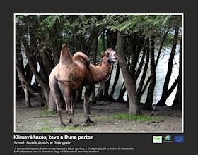 Photo: RO: Schimbare climatică, cămilă pe maul Dunării Am făcut această fotografie pe inula de la Szentendre, o cămilă, vaporul deșertului stătea pe mal și uitase la mine. A fotografiat-o pentru că dacă povestesc ce am văzut, nimeni nu m-ar credea.  EN: Cimate change, camel on the riverside of Danube A took this picture in the island of Szentendre, a camel the ship of the desert staying in the bank of the river and looking at me. A made a photo because if I tell what I saw nobody will believe me.