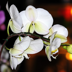 White Orchid by Nguyen Huu Hung - Nature Up Close Flowers - 2011-2013