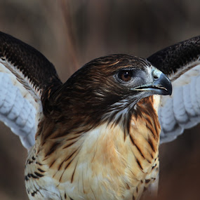 Red Tailed Hawk by Bruce Arnold - Animals Birds (  )