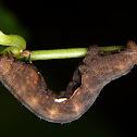 Epimecis moth caterpillar