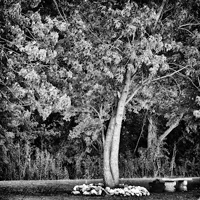 Tree with Rocks by Grady  Welch - Black & White Flowers & Plants ( black & white, b&w, rocks, tree, trees )