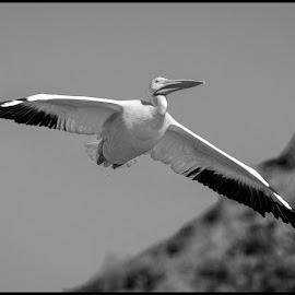 Pelicans by Dave Lipchen - Black & White Animals ( pelicans )