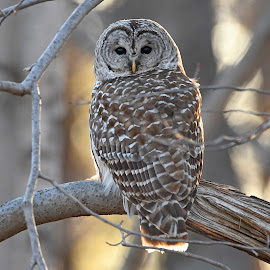Barred Owl by Steven Liffmann - Animals Birds