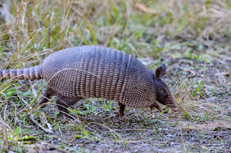 Photo: Armadillo making a run for it; Lake Woodruff NWR
