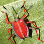 Tessaratomid Shield Bug Nymph