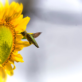 Sunflower and Hummingbird by Dennis Roscher - Flowers Single Flower ( single flower, hummingbird, sunflower, sun light, early morning )