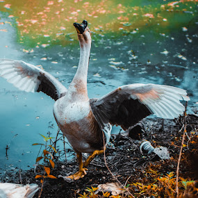 Duck by Abhisek Datta - Animals Other ( wings, duck, spread, pond )