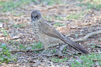 Photo: Arrow-marked Babbler