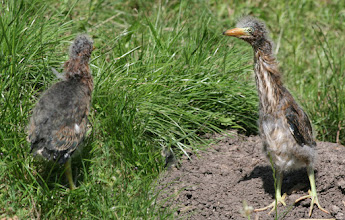 Photo: These two Green Heron chicks were at Roaring Camp in Felton, CA - they were only about 8 inches tall.