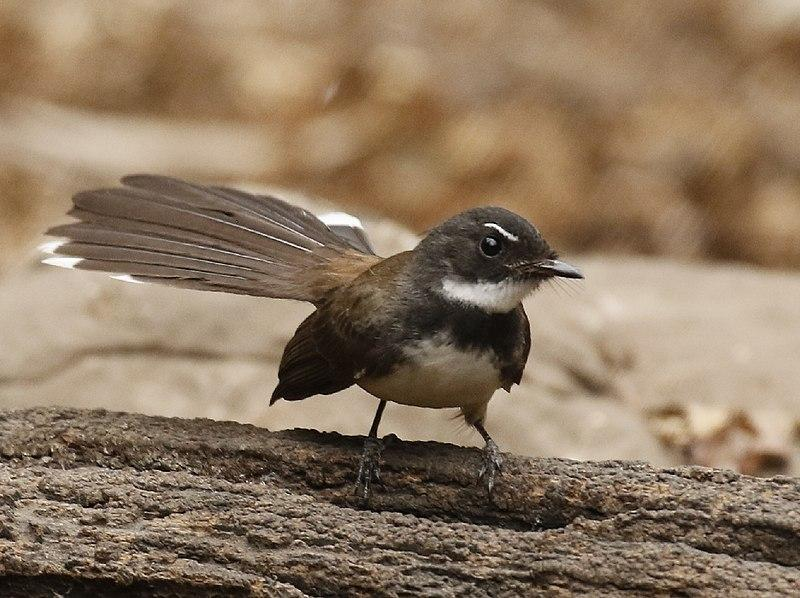 File:Malaysian Pied Fantail.jpg