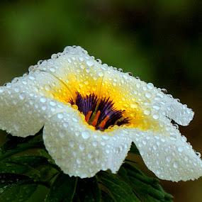 Turnera subulata  by Yusop Sulaiman - Nature Up Close Flowers - 2011-2013 (  )