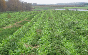 "Photo: Forage radish planted in early fall between rows of ""pick your own"" strawberries at Larriland farms to alleviate compaction, suppress weeds and capture nitrogen for the next picking season. Photo by Frank Coale."