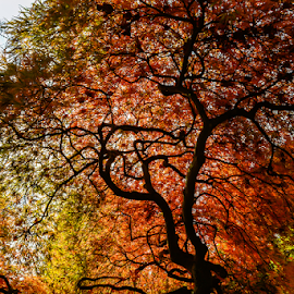 by Keith Sutherland - Nature Up Close Trees & Bushes ( maple trees, red leaves, canada, fall, autum, maple leaves, british columbia )