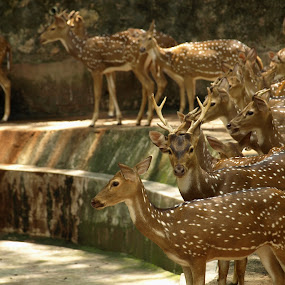 Deer by Jacob Hoedl - Animals Other Mammals ( spotted, india, stag, concrete, deer )