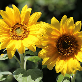 two sunflowers by Carola Mellentin - Flowers Flowers in the Wild (  )