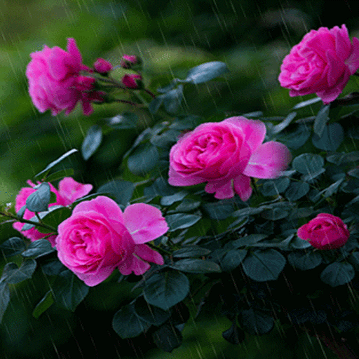 Rainy Pink Flowers LWP
