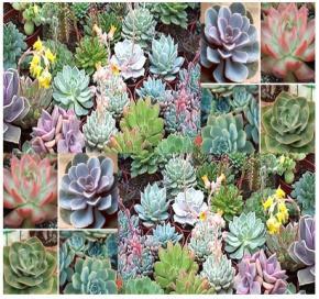 Image result for echeveria mix