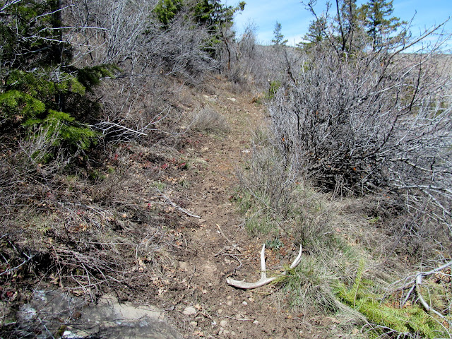 Deer antler on the trail
