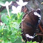 Diadem Butterfly (female)