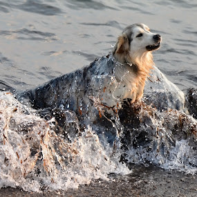 Too Cold Water by Marcel Cintalan - Animals - Dogs Playing ( animals, cold water, sea, turkey, dog,  )