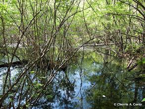 Photo: ORR - shrub swamp