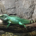 Chinese Water Dragon