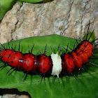 Caterpillar of Malay Lacewing