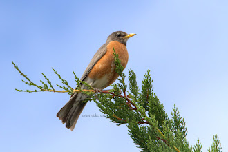 Photo: Robin
