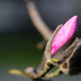 bud by Scott Hemenway - Nature Up Close Flowers - 2011-2013 ( plant, purple, green, iso 100, bloom, nikon d7000, bokeh, nature, outdoor, f 2.8, 200mm, nikon 70-200 2.8 vrii, flower )