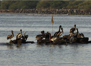 Photo: Brown Pelicans off Matanchecn Bay