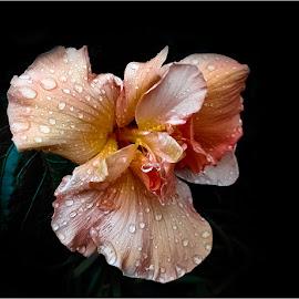 Waterdrops on Hibiskus by Elna Geringer - Flowers Single Flower