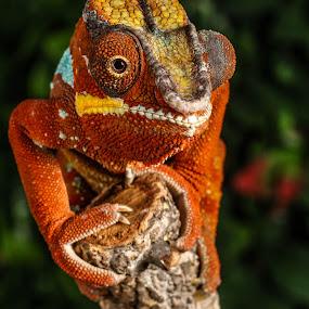 Orange chameleon by Garry Chisholm - Animals Reptiles ( garry chisholm, orange, macro, lizard, nature, wildlife, reptile, chameleon )