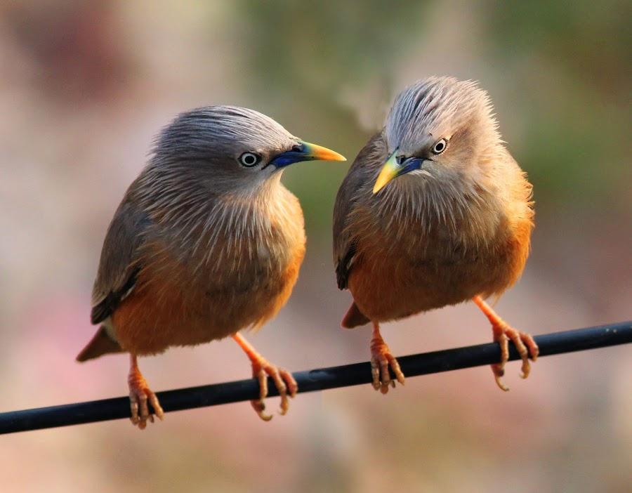 Chit Chat by Mrinmoy Ghosh - Animals Birds (  )