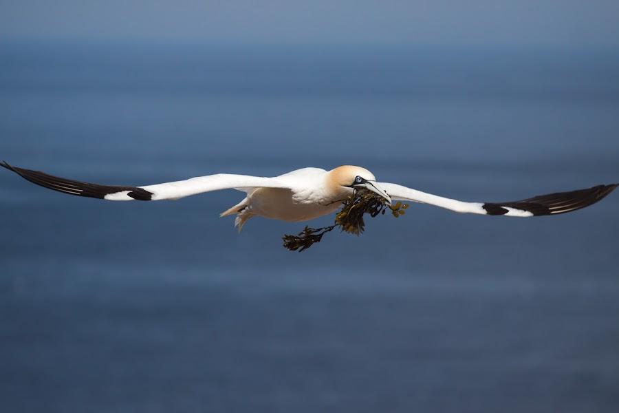 Northern Gannet by Ron Harper - Animals Birds ( gannet bird bonaventure island )