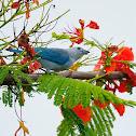 Tangara azulada (Blue-gray tanager)