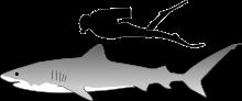 Tiger shark size.svg
