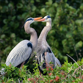 Herons by Ruth Overmyer - Animals Birds (  )
