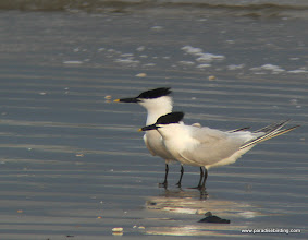 Photo: Sandwich Terns, Quintana Beach, upper Texas Coast