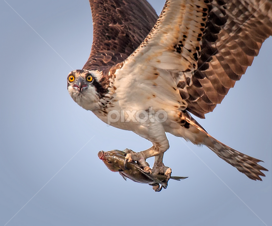 Osprey Flying with Fish by Don Holland - Animals Birds