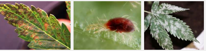 cannabis pests that are killed by marijuana