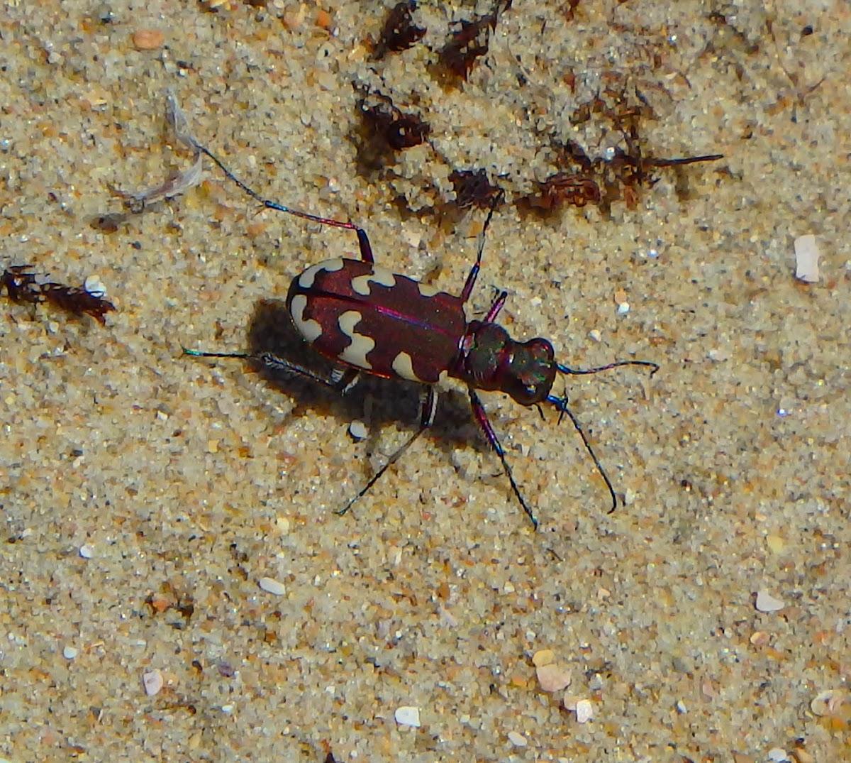 Dune tiger beetle