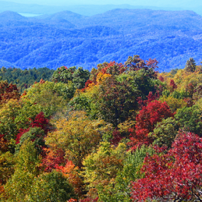 Why it's called the Blue Ridge  by Ruby Stephens - Landscapes Mountains & Hills ( mountains, red, fall colors, blue, green, trees, blue ridge, gold )