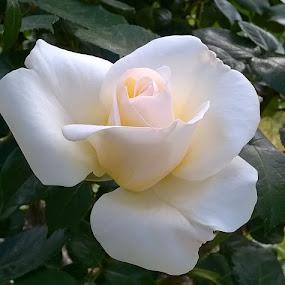 Rosas by Juan Tomas Alvarez Minobis - Flowers Single Flower