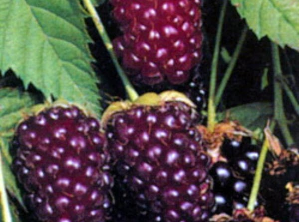 Boysenberry crunch has a tart and sweetness to it. It packs alot of flavor....