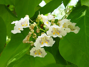 Photo: Flores de Catalpa