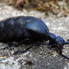 European oil beetle
