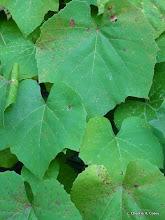 Photo: Fox grape (Vitis lambrusca)